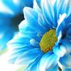 blue daisey